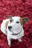 Jack russel terier Royalty Free Stock Images