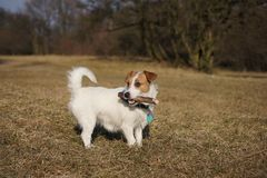 Jack russel Terier Stock Images