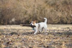 Jack russel terier Stock Photo