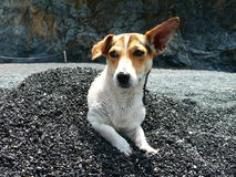 Jack Russel Terier. Curious little dog resting in pile of pebbles Stock Photography