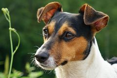 Jack russel terier Stock Image