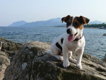 Jack Russel Terier. Little dog relaxing on stone near Torre di Bari, Sardinia Stock Photo