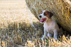 Jack russel terier poses for a photo in field of mown wheat Royalty Free Stock Photography