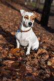 Jack Russel terier sitting on leaves. Stock Photography