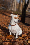 Jack Russel terier sitting on leaves. Stock Photos
