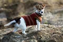 Jack russel terier with small coat Royalty Free Stock Images