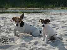 Jack Russel Terier. Two little dogs relaxing on the beach Royalty Free Stock Photo