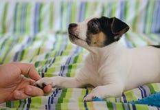 Jack Russel teriera szczeniak utrzymuje psią ` s łapę kłama na łóżku z kolorowymi pościelami i ludzką ` s ręką Zdjęcia Royalty Free