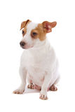 Jack russel terrier Stock Photography