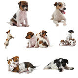 Jack russel terrier. Composite picture with purebred jack russel terrier on a white background Royalty Free Stock Photo