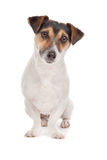 Jack russel Terrier. Dog in front of a white background Stock Photo