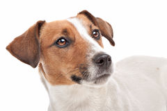 Jack Russel Terrier. In front of a white background Royalty Free Stock Photos