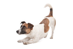 Jack Russel Terrier. In front of a white background Royalty Free Stock Images