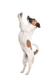 Jack Russel Terrier. In front of a white background Stock Photos