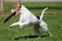 Jack Russel Terrier. Playing outdoors Royalty Free Stock Image