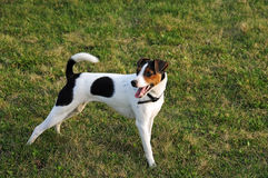 Jack russel terrier. Standing in the grass Royalty Free Stock Photography