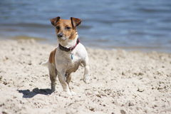 Jack Russel Terrier. Standing in the beach Royalty Free Stock Photos