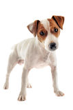 Jack russel terrier Royalty Free Stock Photos