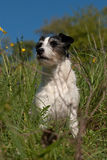 Jack russel terrier Stock Photos