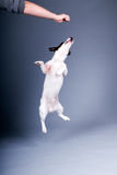 Jack russel terrier. A cute jack russel terrier jumping in the air Stock Image