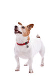 Jack Russel terrier. Cute jack russel terrier on white background in full body shot Royalty Free Stock Photography