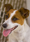 Jack Russel Terrier Royalty Free Stock Photo