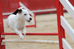 Jack russel terrier in agility. Portrait of a purebred jack russel terrier in a competition of agility Royalty Free Stock Photography