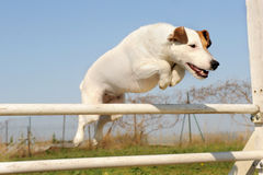 Jack russel terrier in agility Royalty Free Stock Image