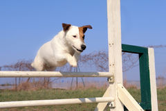 Jack russel terrier in agility Royalty Free Stock Photo