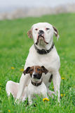 Jack russel terrier and American bulldog Stock Photography