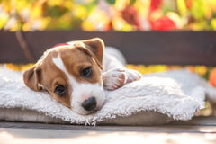 Jack. Russel terrier on autumn terrace Royalty Free Stock Image