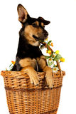 Jack Russel Terrier in a basket Royalty Free Stock Photos