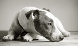 Jack russel terrier Royalty Free Stock Image