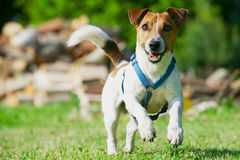 Jack Russel Terrier in a blue harness runs on a grass. Stock Images