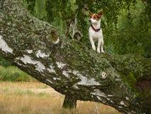 Jack Russel Terrier. In bohemian landscape Royalty Free Stock Image