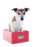 Jack russel terrier in a box Royalty Free Stock Image