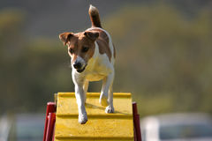 Jack Russel Terrier on a bridge. Jack Russel Terrier doing agility on a bridge stock images