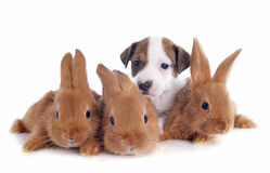 Jack russel terrier and bunnies Royalty Free Stock Image