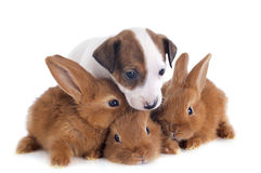 Jack russel terrier and bunnies. Portrait of a cute purebred  puppy jack russel terrier and bunnies in front of white background Stock Photo
