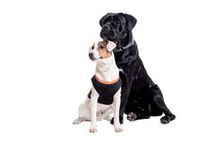 Jack Russel Terrier and Cane Corso Royalty Free Stock Images
