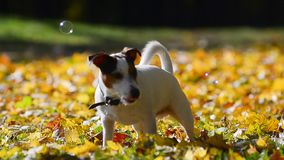 Jack russel terrier is catching bubbles stock video