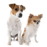 Jack russel terrier and chihuahua Royalty Free Stock Images