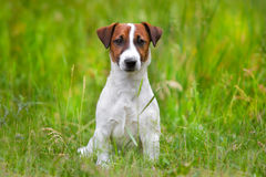 Jack russel terrier. Close up portrait in grass stock photography