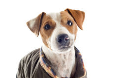 Jack russel terrier with coat Stock Photo