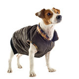 Jack russel terrier with coat Stock Image