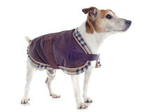 Jack russel terrier with coat Royalty Free Stock Photography