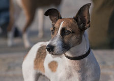 Jack russel terrier Royalty Free Stock Images