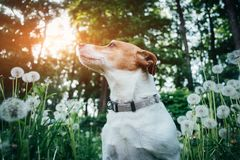 Jack russel terrier on dandelions meadow. Happy Dog with serious gaze Stock Photo