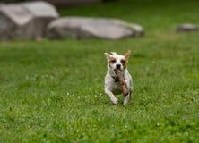 Jack Russel Terrier in de de lentetuin Selectieve nadruk Royalty-vrije Stock Fotografie