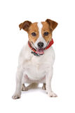 Jack russel terrier dog Royalty Free Stock Images